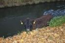 Großtierrettung - Stier in Mühlbach am 06.11.15
